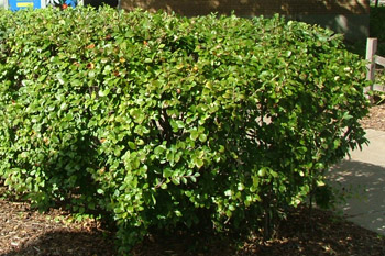 Peking Cotoneaster Shrub