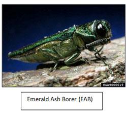 Emerald sh Borer