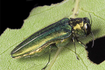 Control the Emerald Ash Borer in Chicago